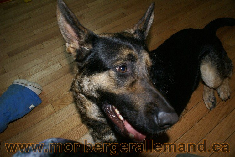 Lady - Berger Allemand Femelle